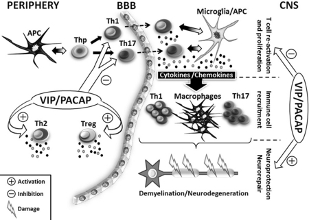 Potential effects of VIP and PACAP in EAE, a mouse MS m