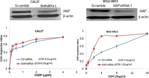 Inhibiting XIAP expression sensitized both CAL27and WSU-HN13 to cisplatin treatment.XIAP siRNA-1 effectively inhibited the expression of XIAP protein in both CAL27 and WSU-HN13 cells (Upper) and decreased the cisplatin IC50 value from 0.51 µg/ml to 0.20 µg/ml in CAL27 and from 4.32 to 1.82 µg/ml in WSU-HN13 (Lower).