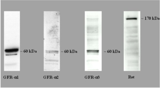 Detection of the receptors GFR-α 1-3 and Ret receptor by Western Blot. The molecular weight (kDa) of the protein are shown on the right of the western blot figures. These blots are representative of 3 independent experiments (N = 3).