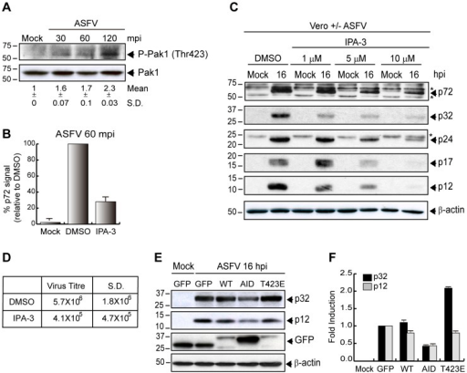 Pak1 is required for ASFV entry in Vero cells.A) ASFV activates Pak1 at early times post infection. Cells were infected (MOI 5) and phosphorylation of Pak1 (Thr423) was determined at different times after infection by Western blot. Levels of total Pak1 were measured as a control. Fold induction was determined by densitometry (mean ±S.D). B–D) IPA-3 inhibits ASFV entry. B) Cells were pretreated with DMSO or 30 µM IPA-3 and infected (MOI 10) for 60 min to analyze ASFV uptake by FACS. The graph shows percentage of virus entry relative to DMSO control, measured as p72 signal (n = 9, performed in duplicate; mean ±S.D.). C) Viral protein synthesis was analyzed in infected cells (MOI 1) at 16 hpi in the presence of IPA-3 at the indicated concentrations. Equivalent amounts of protein were analyzed by Western blot with an anti-ASFV antibody. D) Supernatants from DMSO or 5 µM IPA-3 treated cells after 48 hpi (MOI 1) were recovered. Lytic viruses were titrated in Vero monolayers and plotted in the table (n = 3). E–F) Pak1 mutant reduces ASFV infection. E) Vero cells were transfected with pEGFP-Pak1-WT, pEGFP-Pak1-AID (Pak D/N form) and pEGFP-Pak1-T423E (Pak C/A form) for 24 h. Then, cells were infected (MOI 1) for 16 h and viral protein synthesis was analyzed by immunoblotting with an anti-ASFV antibody. GFP expression was measured as a control of transfection. β-actin was detected as a load control. F) Fold induction was determined by densitometry and represented in the graphic (mean ±S.D). S.D., standard deviation. * Unspecific cellular protein detected by the antibody.