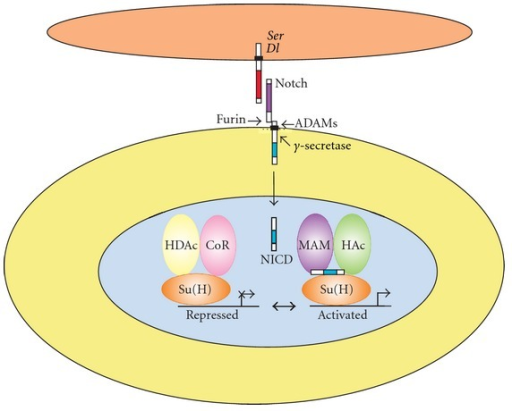 Core components of the canonical Notch signaling pathway in Drosophila. The two Notch ligands encoded by the Serrate (Ser) and Delta (Dl) genes (upper cell) interact with an adjacent cell expressing the Notch receptor. The Notch receptor is proteolytically cleaved by a Furin protease in the Golgi and exists at the cell surface as a proteolytically cleaved heterodimer consisting of a large ectodomain and a membrane-tethered intracellular domain. The receptor/ligand interaction induces additional proteolytic cleavages by ADAM-family metalloproteases and the gamma-secretase complex in the membrane-tethered intracellular domain. The final cleavage, catalyzed by gamma-secretase, frees the Notch intracellular domain (NICD) from the cell membrane. NICD translocates to the nucleus, where it forms a complex with the Supressor of Hairless (Su(H)) protein, displacing a histone deacetylase (HDAc)/corepressor (CoR) complex from the Su(H) protein. Components of an activation complex such as the Mastermind (MAM) protein and histone acetyltransferases (HAc) are recruited to the NICD/Su(H) complex, leading to the transcriptional activation of Notch target genes.