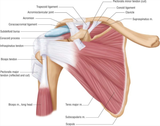 Anterior anatomy view of the shoulder.