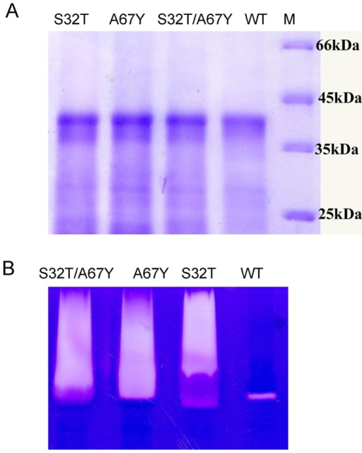 SDS–PAGE analysis and gelatin gel zymography.A. Purified and refolded pro-enzymes of mutants and wild-type were analyzed in 15% SDS-PAGE; M denotes Molecular mass markers. B. Gelatin gel assay of the activated mutants (∼15 µg) and wild-type enzymes.