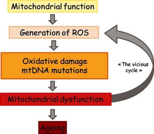 Schematic representation of the mitochondrial free radical theory of ageing. Reactive oxygen species (ROS) are normal by-products of mitochondrial function that progressively damage the constituents of mitochondria, inducing mitochondrial dysfunction and increased ROS production through a vicious cycle, leading ultimately to cellular dysfunction and ageing.