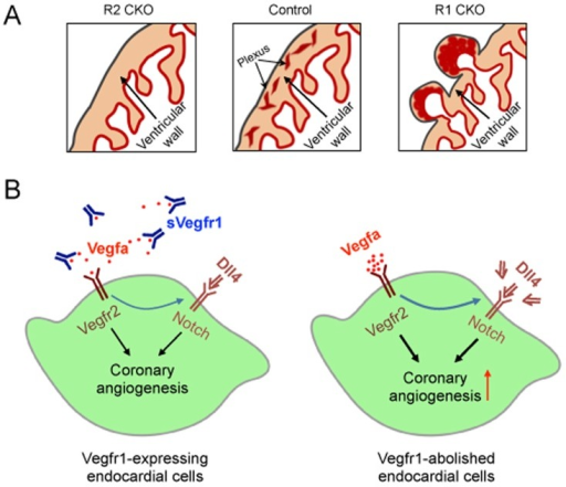 Working model shows the Vegf-Notch signaling in the ventricular endocardium that regulates coronary angiogenesis by the ventricular endocardial cells.A, Schematics showing that a balanced Vegf signaling in the endocardium (Control) is essential for the coronary angiogenesis by the ventricular endocardial cells. When the Vegf signaling in the endocardium is disrupted by deleting the proangiogenic Vegfr2 (R2 CKO) [27] or the anti-angiogenic Vegfr1 (R1 CKO; this study), the coronary angiogenesis is blocked or accelerated, respectively. B, Diagrams depicting a mode of controlled Vegf-Notch signaling that is necessary for normal coronary angiogenesis. Enhanced Vegf2 signaling in the endocardial cells by removal of the inhibitory sVegfr1 results in the increased Dll4 expression and accelerated augmented coronary angiogenesis whereas blocking Notch signaling prohibits the process (not shown in the diagrams), suggesting that balanced Vegf and Notch signals collaborate in the endocardial cells to control the coronary angiogenesis.