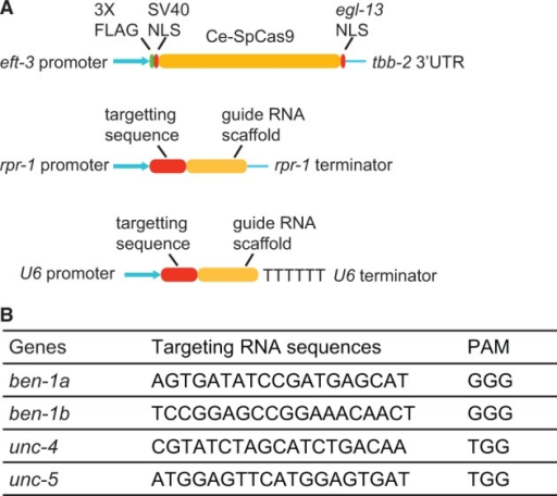 CRISPR–Cas targeting in C. elegans. (A) Vectors optimized to express Cas9 and sgRNA in the C. elegans germline. NLS, nuclear localization signal. (B) Targeting sequences used for different genes, together with the 3′ PAM sequence.