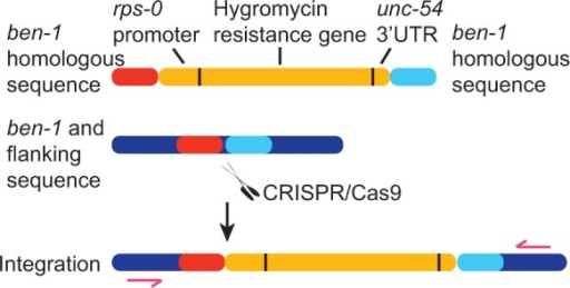 CRISPR-targeted knock-ins. Schematic showing targeted knock-in of an HygR cassette at the ben-1 locus. The double-strand break induced at ben-1 by CRISPR–Cas9 is repaired using the transgene containing the HygR cassette, leading to gene conversion.