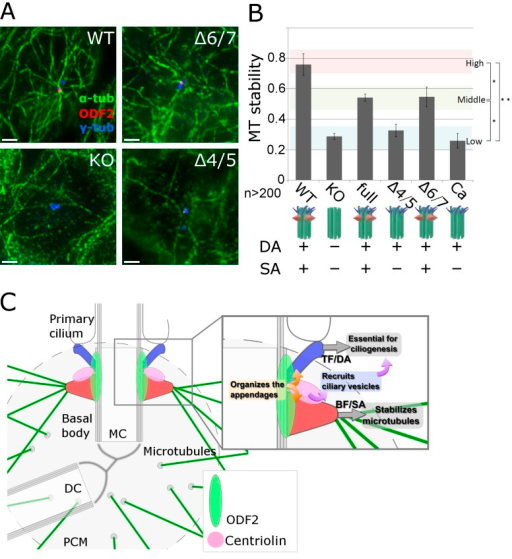 Specific role of centrosomal subdistal appendages (SAs) in stabilizing centriole microtubules (MTs). (A) Immunofluorescence images of MTs in DA+SA+, DA+SA−, and DA−SA− centrioles under nocodazole treatment, an MT-destabilizing condition. WT, (DA+SA+) centriole in WT F9 cells; Δ4/5, (DA+SA−) centriole in Δ4/5 construct–expressing Odf2-KO F9 cells; Δ6/7, (DA+SA+) centriole in Δ6/7 construct–expressing Odf2-KO F9 cells. (B) Quantification of MT stability. The relative MT stability is shown for the indicated Odf2 construct (*, P = 0.01; **, P = 0.005; n > 200 in more than three independent experiments). (C) Schematic drawing of the specific roles of the appendages of ciliary basal bodies/centrioles. In the proposed model, separate domains in Odf2 serve as the molecular platform on which the appendages are constructed. Note that centriolin associates with ODF2/cenexin at the base of the SA (or where the base would be in the absence of SAs), and recruits vesicles whose cargoes support ciliogenesis. The BF/SAs (red) stabilize MTs, whereas the TFs/DAs (blue) are essential for ciliogenesis. MC, mother centriole; DC, daughter centriole.