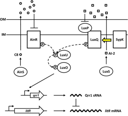 Model of the core quorum-signaling (QS) system in Vibrio fischeri. The outputs of the QS systems AinS/AinR and LuxS/LuxP/LuxQ converge on the LuxU/LuxO phosphorelay. Phosphorylated LuxO activates transcription of the small regulatory RNA Qrr1 that posttranscriptionally represses litR, which encodes the transcription factor LitR. In this study, we show that SypK modulates QS by affecting the kinase activity of LuxQ (indicated by the yellow arrow).