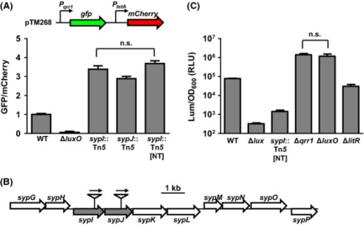 Mutants with a transposon insertion in the sypIJKL operon have enhanced qrr1 expression. (A) Levels of qrr1 expression in WT (ES114), ΔluxO (TIM306), sypI::Tn5 (DRO5F11), sypJ::Tn5 (DRO1B3), and sypI::Tn5 [NT] (DRO222) harboring the reporter plasmid pTM268. The nonfluorescent strain ES114 harboring pVSV105 was used to calculate cellular levels of GFP and mCherry. Graphical and error bars represent the averages and standard deviations of triplicate biological replicates, respectively. One-way ANOVA with Tukey's multiple comparisons test show significance (P-value <0.01) between columns, except for the comparison labeled not significant (n.s.). Experiment was performed three times, with similar results. (B) Transposon insertion sites of mutants examined in (A). Genes disrupted by a transposon are highlighted in gray. Arrows above transposon insertions indicate direction of erm gene transcription. (C) Luminescence levels of WT (ES114), Δlux (EVS102), sypI::Tn5 [NT] (DRO222), Δqrr1 (TIM305), ΔluxO (TIM306), and ΔlitR (TIM358) in response to 120 nmol/L 3-oxo-C6. Graphical and error bars represent the averages and standard deviations of triplicate biological replicates, respectively. One-way ANOVA with Tukey's multiple comparisons test on log-transformed data show significance (P-value <0.01) between columns, except for the comparison labeled not significant (n.s.). Experiment was performed three times, with similar results.