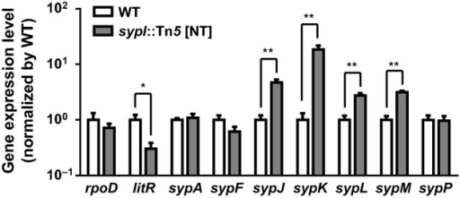 Polar effects of transposon insertion on syp gene expression. Quantitative reverse-transcriptase PCR analysis of various genes in the sypI mutant (DRO222) relative to WT (ES114). Genes tested are VF_2254 (rpoD), VF_2177 (litR), VF_A1020 (sypA), VF_A1025 (sypF), VF_A1029 (sypJ), VF_A1030 (sypK), VF_A1031 (sypL), VF_A1032 (sypM), and VF_A1035 (sypP). Values are of quadruplicate biological replicates and normalized by wild-type levels. Error bars indicate ± 1 SD. Comparisons with significance based on unpaired t-tests are shown with *(P-value <0.01) and **(P-value <0.001), where P-values are adjusted using false discovery rate correction.