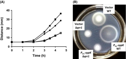 Overexpression of sypK enhances qrr1-dependent motility. (A) Soft-agar motility migration distances by WT (ES114; closed symbols) and Δqrr1 (TIM305; open symbols) harboring vector (pTM214; circles) or Ptrc-sypK (pTM367; squares). TBSW motility plates contained chloramphenicol and 100 μmol/L IPTG. Points and error bars (too small to visualize) represent means and standard deviations of spot diameter (in mm) for quadruplicate biological replicates, respectively. Experiment was performed twice, with similar results. (B) Image of motility plate used in (A) at 4 h.