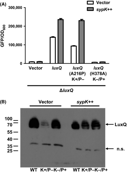 "Kinase activity of LuxQ is required for SypK activation of qrr1 expression. (A) Levels of qrr1 expression in ΔluxQ strain KV6529 harboring a luxQ-FLAG variant plasmid (vector [pVSV105], luxQ [pVAR48], luxQ [A216P] K+/P− [pVAR50], or luxQ [H378A] K−/P+ [pVAR51]) and a sypK plasmid (vector [pKV282] or sypK++ [pVAR70]). The wild-type strain ES114 harboring pVSV105 and pKV282 was used as the nonfluorescent control for quantifying fluorescence levels. The copy of sypK in plasmid pVAR70 contains the FLAG tag. Graphical and error bars represent the averages and standard deviations of triplicate biological replicates, respectively. Experiment was performed three times, with similar results. (B) Western blot of ΔluxQ strain KV6529 harboring a luxQ-FLAG variant plasmid (WT [pVAR48], K+/P− [pVAR50], or K−/P+ [pVAR51]) and a sypK plasmid (vector [pKV282] or sypK++ [pVAR70]). Anti-FLAG antibodies were used to detect the variants of LuxQ-FLAG. Numbers to the left indicate molecular-weight marker positions (in kDa). A nonspecific band detected throughout the samples is designated as ""n.s."". A band corresponding to SypK-FLAG was not detected in this experiment. Experiment was performed twice, with similar results."