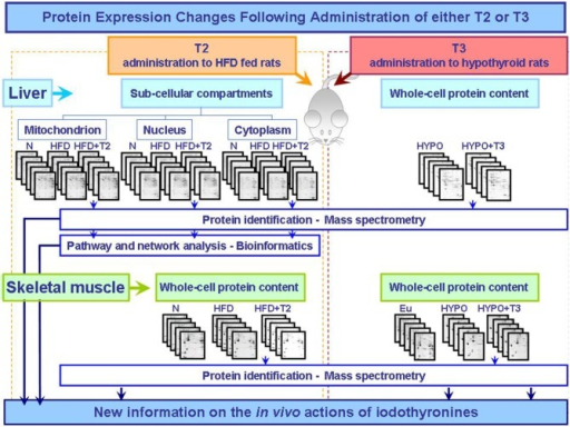 Synoptic of the workflow of the proteomic approaches so far utilized to obtain new information on the actions that T2 and T3 exert in vivo in key metabolically active tissues central in the control of energy balance. The described studies were performed as integrated approaches including 2D-E, mass spectrometry, and bioinformatic tools (Silvestri et al., 2006, 2007, 2010; Moreno et al., 2011). Abbreviations: N, standard diet fed control rats; HFD, high fat diet fed rats; HFD+T2, high fat diet fed rats treated with T2; Eu, euthyroid rats; Hypo, hypothyroid rats; Hypo+T3, hyperthyroid rats.