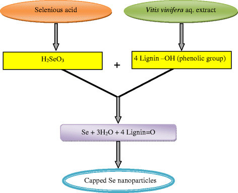 Se nanoparticle synthesis usingVitis viniferaextract.