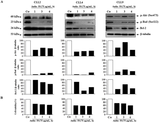 Antho 50 induces dephosphorylation of Akt at Ser473, Bad at Ser112 and down-regulation of Bcl-2 in B CLL cells.Cells were incubated with Antho 50 at 75 μg/mL for the indicated times. The expression of the p-Akt, p-Bad and Bcl-2 was studied by Western blot (A, upper panel) and their expression levels were analyzed by densitometry and represented as percentage compared with control (A, lower panel). Cell viability was assessed by cell counting using the trypan blue dye exclusion assay (B). The control (Ctr) represents untreated cells harvested at 6 h. The data are representative of cells from three CLL patients.