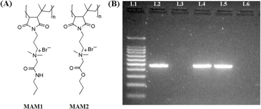 (A) Structures of the membrane active molecules (MAMs) and (B) Schematic representation of agarose gel (2%) showing the 475 bp amplified product by conventional polymerase chain reaction.Lane 1, 100 bp DNA ladder; Lane 2, positive control- NDM-1 producing K. pneumoniae (ATCC-BAA-2146); Lane 3, negative control- E. coli (ATCC-25922); Lane 4, E. coli R3336 and Lane 5, K. pneumoniae R3934 confirm the blaNDM-1 gene; Lane 6, multi-drug resistant (MDR) K. pneumoniae R3421 which was negative for blaNDM-1 gene.