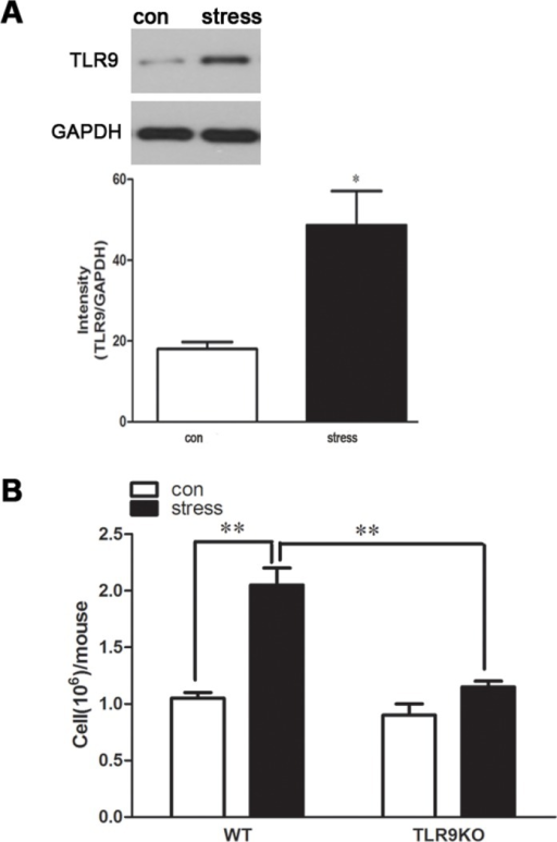 A deficiency of TLR9 blocks chronic stress-induced accumulation of macrophages in peritoneal cavity TLR9 knockout mice or wild type BALB/c mice aged 6 to 8 weeks were subjected to a 12 h physical restraint daily.After 2 d stress, mice were sacrificed by cervical dislocation, and the peritoneal macrophages were harvested and the counts were performed. For TLR9 protein expression evaluating, the macrophages were harvested and cultured for 24 hours. The expression of TLR9 was analyzed by Western blot. Means and SEs were calculated from 7 mice per group. *p < 0.05, **p< 0.01 compared with indicated groups.