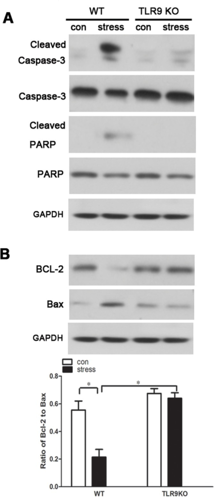 TLR9 deficency inhibits stress-induced change in caspase-3 and PARP activation and ratio of Bcl-2/Bax TLR9 knockout mice or wild type BALB/c mice aged 6 to 8 weeks were subjected to a 12 h physical restraint daily.After 2 d stress, mice were sacrificed by cervical dislocation, and the macrophages were harvested, purified and cultured (5 × 105 cells/well) on culture plates for 24 hours. The expression of cleaved caspase-3 and cleaved PARP (A), and Bcl-2/Bax (B) was analyzed by Western blot. Means and SEs were calculated from 7 mice per group. *p < 0.05, **p< 0.01 compared with indicated groups.