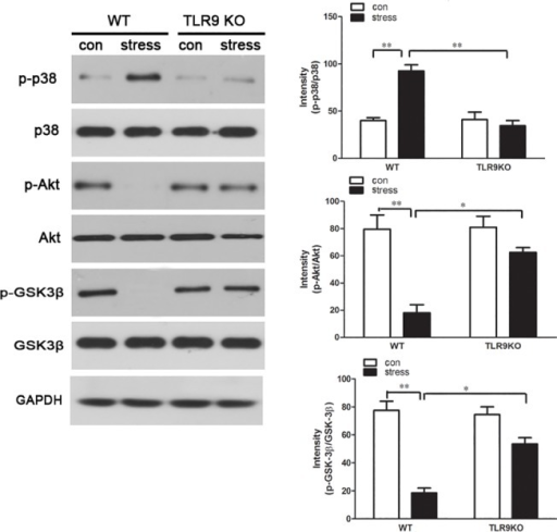 TLR9 deficiency attenuates chronic stress-induced changes of apoptosis related pathways TLR9 knockout mice or wild type BALB/c mice aged 6 to 8 weeks were subjected to a 12 h physical restraint daily.After 2 d stress, mice were sacrificed by cervical dislocation, and the macrophages were harvested, purified and cultured (5 × 105 cells/well) on culture plates for 24 hours. The expression of total and phospho-p38, total and phospho-Akt, total and phospho-GSK-3β were analyzed by Western blot. Means and SEs were calculated from 7 mice per group. *p < 0.05, **p< 0.01 compared with indicated groups.