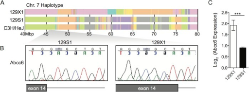 Abcc6 is a promising candidate gene.(A) 129S1 mice share a common haplotype with C3H/HeJ in the chr.7 QTL interval. (B) Both C3H/HeJ [32] and 129S1 mice possess a mutation in exon 14 of Abcc6 that creates a new splice donor site and causes a 5 bp deletion. This mutation is absent in 129X1 mice and causes a twofold decrease in Abcc6 expression in 129S1 livers (C). The statistical test used was a student's t test. ***P<0.001.