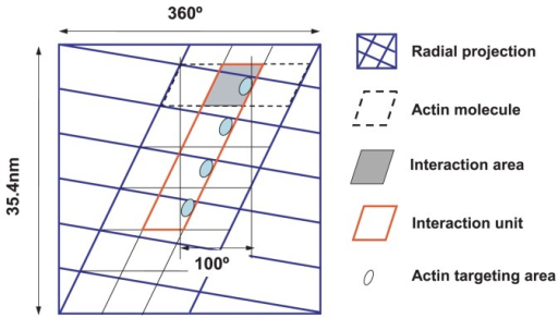 Definition of interaction area and interaction unit. A radial projection of the actin filament of a half helical pitch is shown by solid blue lines. The area corresponding to an actin molecule is shown by dotted black lines, including the space between neighboring actin molecules. The interaction area on the surface of the actin molecule is represented by a shaded rhomboid. The interaction unit, consisting of four adjacent interaction areas, is framed by red lines. The actin target areas are tentatively represented by ellipsoids in the interaction area.