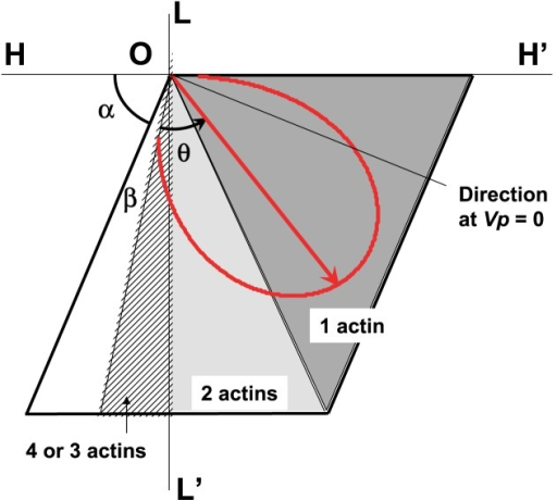 Polar display of relative magnitude and direction of force F(θ) in the interaction area. A red arrow from the original point O represents force F(θ) in direction θ, and the red curve corresponds to the trace of the pointed end of force F(θ) with the change of load P. The direction of F(θ) at P=0 and P=Pmax is given by the directional angle of α+β (left end-point of the curve) and that of α+β+θmax =π (right end-point of the curve) from the H axis, respectively. Numerical values of F(θ) are calculated by Equation 13, in which the functional form of the ATPase rate is represented by the revised Hill's formulae. The value of the constant heat production rate CHPR(θ) is assumed to be 0.05. It should be noted that the value of F(θ) is relative, and it depends on the expressive form of the ATPase rate. The sliding direction at Vp=0 is also shown.