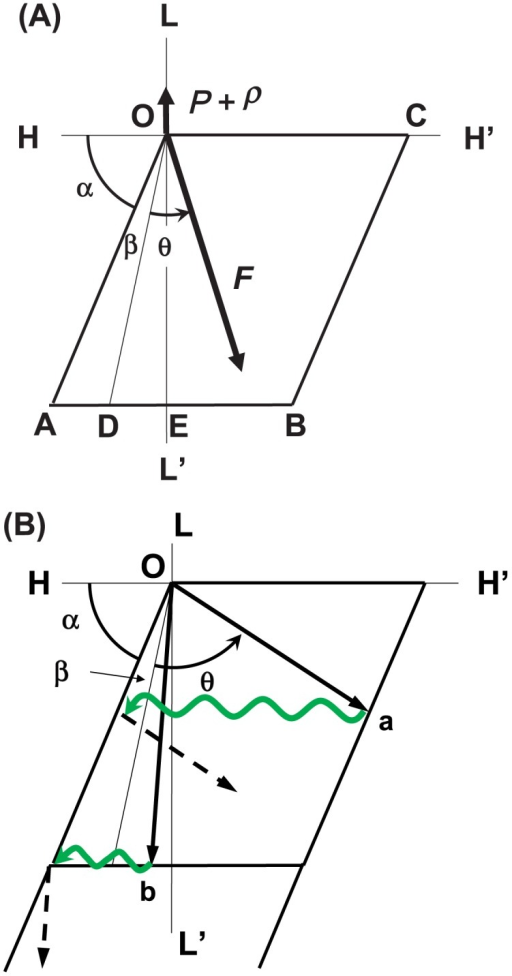 Illustrations of the sliding direction of a myosin head in the interaction area. (A) Definitions of parameters describing the sliding movement of a myosin head in the interaction area. The L-axis is parallel to the axis of the actin filament and the H-axis is perpendicular to the L-axis. The rhomboid OABC represents the interaction area. The myosin head is assumed to start its sliding movement at the original point O, and it slides in various directions depending on load P. Directions OD, OE and OC denote the sliding direction of the myosin head at Vmax (P=0), 1/2 Vmax and V=0 (P=Pmax), respectively. (B) Examples of sliding movements of a myosin head under heavy-load conditions (arrow Oa) and under light-load conditions below 1/2 Vmax (arrow Ob). Black arrow denotes the sliding trace of the myosin head in the interaction area. The green wavy arrow denotes Brownian movement of the myosin head around the long axis of the actin filament after dissociation of the myosin head from the actin molecule. The myosin head continues to slide in the interaction area under the given conditions, as shown by broken arrows.