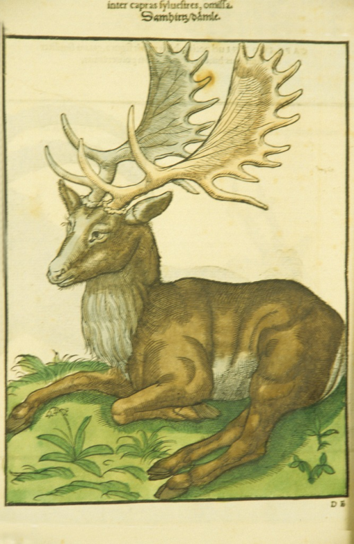 <p>Hand-colored woodcut of a fallow deer lying on the ground.</p>