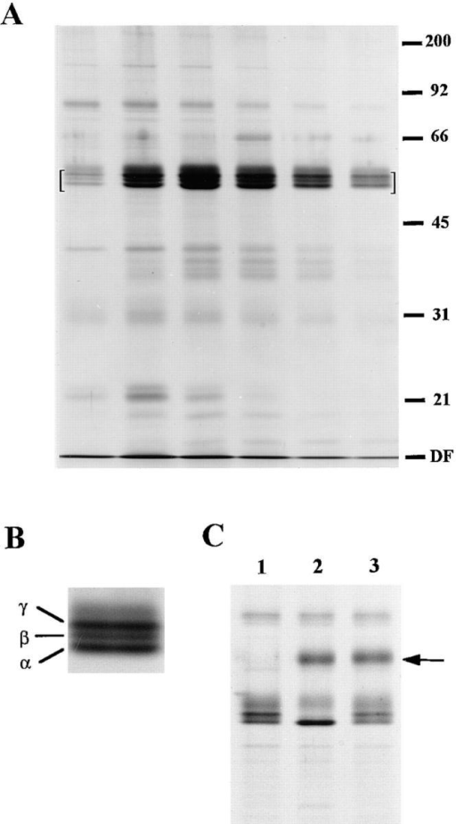 Isolation and characterization of the human  placental N-ERMAD binding candidates. (A) An affinity binding assay similar to  that shown in Fig. 2, was  scaled up 100-fold, and  bound proteins were eluted  with urea. A silver-stained  12% gel of the peak fractions  is shown; the region in which  the binding proteins migrate  is bracketed. (B) Enlarged  view to show resolution of  the placental candidates into  three species: α, β, and γ. (C)  Binding protein heterogeneity is due to phosphorylation.  The proteins were recovered  from ezrin–N-ERMAD agarose beads by elution with NaI,  treated with alkaline phosphatase, and then analyzed on a 10% gel. Lane 1, untreated sample;  lane 2, phosphatase-treated sample; lane 3, phosphatase-treated  sample in the presence of phosphatase inhibitors. The arrow indicates the migration position of alkaline phosphatase. DF, dye  front.