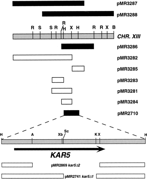 kar5-1162–suppressing subclones. To map the two genomic library isolates containing the KAR5 gene and flanking  DNA, the plasmids were analyzed by restriction mapping (A,  AvrII; B, BamHI; R, EcoRI; H, HindIII; K, KpnI; S, SalI; Sc,  SacI; X, XhoI; Xb, XbaI; designated to scale). To determine the  minimal KAR5 complementing DNA, the indicated subclones  were transformed into a kar5-1162 strain (MS2686). Subclones  that suppressed the kar5-1162 karyogamy defect are indicated by  black bars; open bars indicate no suppression. The minimal complementing DNA subcloned in pMR2710 was used to create the  two disruption constructs pMR2741 and pMR2869. In pMR2741,  the URA3 gene replaces the deleted KAR5 sequence indicated  (kar5-Δ1); in pMR2869, LEU2 replaces deleted KAR5 sequence  (kar5-Δ2).
