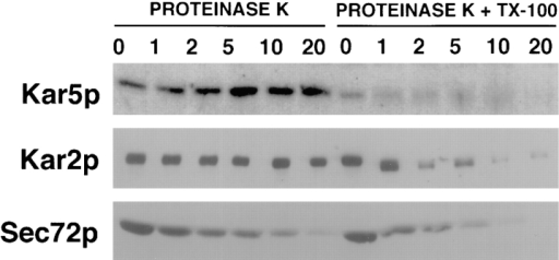 Kar5p was contained within the ER/nuclear envelope  lumen. Protease protection was used to determined if Kar5p was  exposed to the cytoplasm or sequestered within the ER between  the inner and outer nuclear envelopes. Membrane fractions from  pheromone-induced cells (MS3987) were either treated with proteinase K or proteinase K with Triton X-100 for 0, 1, 2, 5, 10, and  20 min. After protease treatment, proteins were separated by  SDS gel electrophoresis, transferred to nitrocellulose, and probed  with anti-Kar5p, anti-Kar2p, or anti-Sec72p antibodies. Sec72p is  an ER protein exposed to the cytoplasm (Feldheim and Schekman, 1994), and Kar2p is an ER lumenal protein (Rose et al.,  1989). Sec72p was nearly entirely digested by protease after 20  min regardless of whether Triton X-100 was added. Kar2p and  Kar5p were protease protected in the absence of detergent for  >20 min. Kar2p and Kar5p were not inherently protease resistant  since neither was resistant to proteinase K when Triton X-100  was added; the solubilization of the nuclear membrane allowed  the protease access to lumen proteins. Thus, both Kar2p and  Kar5p are ER/nuclear envelope lumenal proteins.