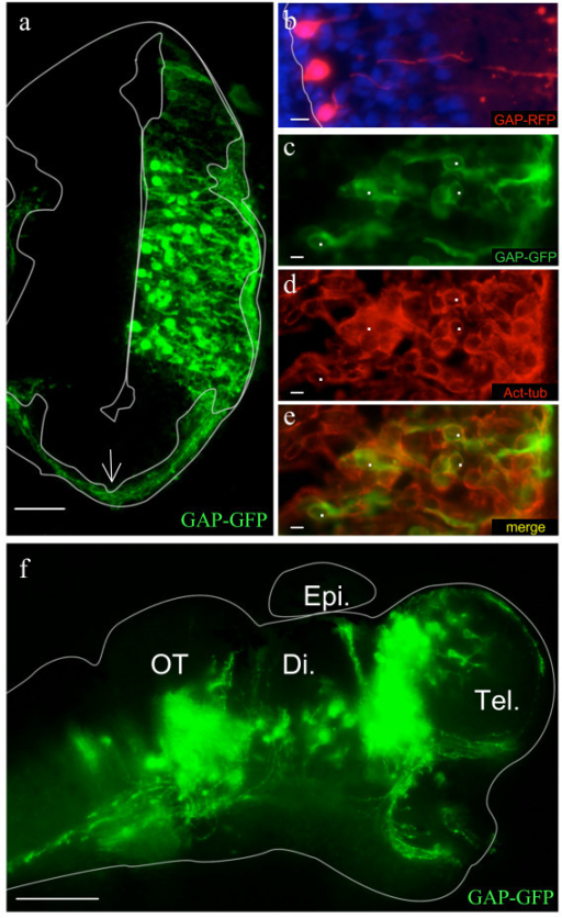 Cell types and morphology of the transfected cells. a: Membrane-tethered GFP (GAP-GFP) delineated the processes of transfected neurons including the axons (the ventricle and neuropil are outlined in white). The arrow indicates a bundle of axons travelling in the neuropil). b: Radial-glia like morphology of GAP-RFP transfected cells lining the ventricle. c-e: Co-expression of GAP-GFP (c) and acetylated-tubulin (d) in superficial layers (e- merge). f: Wholemount brain preparation from an electroporated embryo showing different axon tracts. The brain outline was drawn based on the corresponding bright field image. Di., diencephalon; OT, optic tectum; Tel., telencephalon; Epi., epiphysis. Scale bars: 100 μm in f; 50 μm in a; 10 μm in b-e.