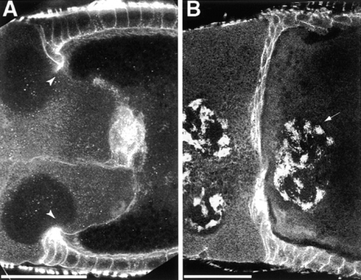Oocyte distortion and centripetal cell migration defects in karst mutant egg chambers. (A) Midregion of a sagittal section through a stage 10A-B karst mutant egg chamber costained for actin and DE-cadherin. Note the distorted interface between nurse cells and oocyte (between arrowheads). (B) Midregion of a stage 10B karst mutant egg chamber costained for α-spectrin and propidium iodide. In this severe case, the centripetal cells of the incompletely migrated follicle cell layer have disrupted the nurse cell cluster and incorporated a nurse cell nucleus (arrow) into the oocyte. Both channels were flattened into a grayscale image in each panel. Anterior is to the left in both panels. Scale bars, 50 μm.
