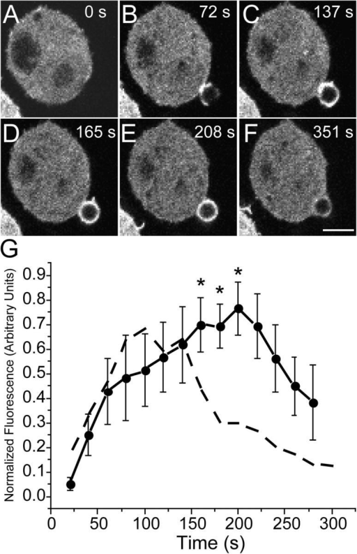Assessment of Rac/Cdc42 activity in forming phagosomes. Phagocytosis was initiated by addition of IgG-opsonized latex beads to RAW cells transiently transfected with PBD-YFP. Fluorescence was monitored by confocal microscopy. (A–F) Representative time course. The numbers indicate the time in seconds after a bead makes contact with the cell. Bar, 5 μm. (G) The phagosomal accumulation of PBD-YFP above the cytosolic level was quantified, normalized and binned into 20-s intervals as in Fig. 1 (solid line). Abscissa: time in seconds after the bead made contact with cell. Ordinate: relative fluorescence, normalized as in Fig. 1 G. Data are means ± SEM of six individual determinations. The dashed line is a reproduction of the GFP-actin data of Fig. 1, for comparison. Asterisks indicate instances where the difference between the curves is significant (P < 0.05).