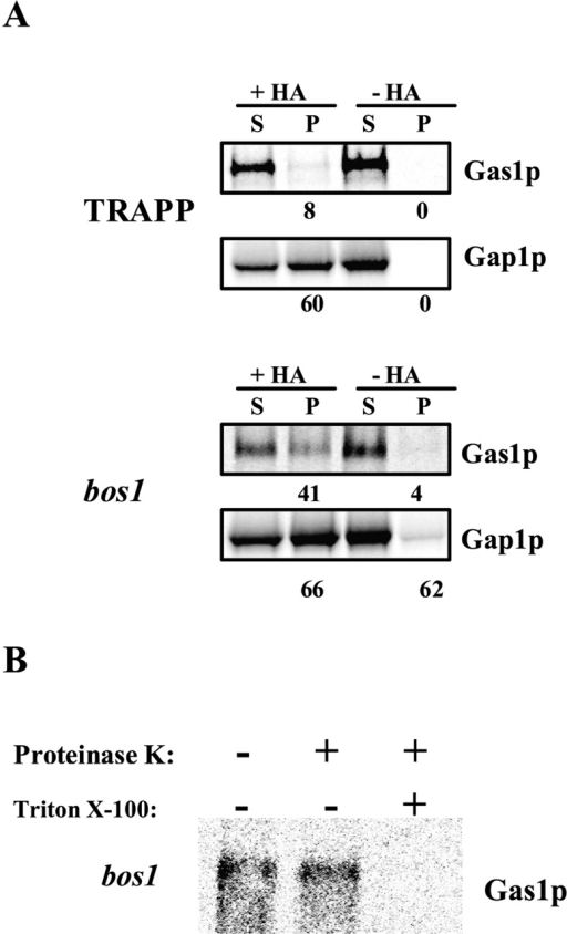 Bos1p is necessary for sorting in vivo. (A) After pulse–chase labeling, vesicles were purified through a Nycodenz® step gradient directly from Bet3p-depleted cells or bos1–1 mutant cells and then immunoisolated with or without monoclonal anti-HA antibody. The supernatants (S) and pellet (P) were processed for immunoprecipitation, and samples were analyzed as described above. The total recovery, S plus P, was set to 100%. Numbers represent the percentage recovery in the pellet. (B) The integrity of bos1–1-generated vesicles was tested as described above.