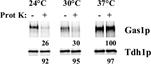 Gas1p reaches the cell surface in the bos1–1 mutant. Mutant bos1–1 cells were pulse labeled for 3 min and chased for 60 min. Cell walls were mildly digested and incubated with or without proteinase K as described. Proteinase K was inactivated and Gas1p and Tdh1p were immunoprecipitated from cell lysates and analyzed by SDS-PAGE and quantified using a phosphorimager.