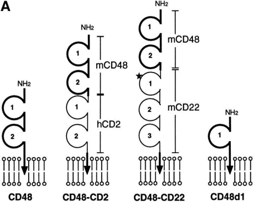 Expression of elongated and shortened forms of CD48 in I-Ek+ CHO cells. (A) Schematic representation of the various forms of CD48 used in this study. Segments derived from mouse CD48 and segments inserted from human CD2 or mouse CD22 are depicted as heavy and light lines, respectively. The asterisk represents the CD22 mutation, R130A. (B) Western blot of the CD48 constructs expressed on I-Ek+ CHO cells. Triton X-100 lysates of 105 I-Ek+ CHO cells expressing no CD48 (CD48 neg) or the indicated form of CD48 were run under reducing conditions and blotted with the mouse CD48 mAb, OX78. Soluble recombinant mouse CD48 with an oligohistidine tag (sCD48his, 50 ng) was included for comparison. Parallel blots of the same samples with an isotype-matched control mAb (OX11) gave no staining (not shown).