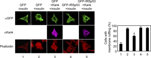 Kank inhibits insulin-induced membrane ruffling. The effectof Kank on insulin-induced membrane ruffling in NIH3T3 cells wasexamined. The cells were transfected and treated as described inMaterials and methods. The images were obtained by confocal lasermicroscopy. The number of cells with membrane ruffling is shown on theright as a percentage of the total number of transfected cells. Theresults are shown as the mean ± SD for triplicate experimentsin which 100 cells per experiment were counted. *, P <0.001 compared with lane 2. Bar, 10 µm.