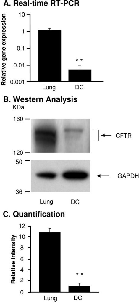 CFTR expression in bone marrow derived dendritic cells (DC). RNA and protein were extracted from wild type (WT) mouse lung and DC. CFTR expression was measured by real-time RT-PCR and Western analysis. A. Real-time RT-PCR. WT mouse lung tissue was used as a positive control and calibration. The y-axis represents CFTR cDNA transcription level in terms of relative quantity value (RQ). B. Western analysis of CFTR protein in DC compared to the WT lung tissue. C. Quantification of CFTR protein by image intensity analysis. Images were scanned and analyzed by software Image J normalized to GAPDH loading control. Shown is the mean ± SEM of three pairs of independent samples. **denotes p < 0.01.