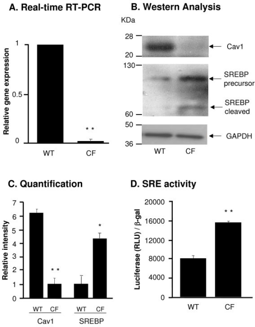 Cav1 and SREBP expression in DC from WT and CF mice. A. RNA was extracted from DC from WT and CF mice and Cav1 gene expression was measured by Real-time RT-PCR. Relative expression levels in the samples were calculated using the ΔΔCt method, with GAPDH as internal normalization control. The y-axis represents Cav1 cDNA transcription level in terms of relative quantity value (RQ). B. Western analysis of Cav1 and SREBP in DC from WT and CF mice and corresponding GAPDH expression. C. Quantification of Cav1 and SREBP expression by image intensity analysis normalized to GAPDH. D. Luciferase assay of SRE transcriptional activity in CF and WT DC. DC were infected with AdZ-SRE-luc for 48 h and harvested for luci-ferase assay and β-galactosidase assay. Data is shown luciferase activity (RLU) normalized to β-galactosidase. Shown is the mean ± SEM of three of independent samples. *denotes p < 0.05, ** denotes p < 0.01.