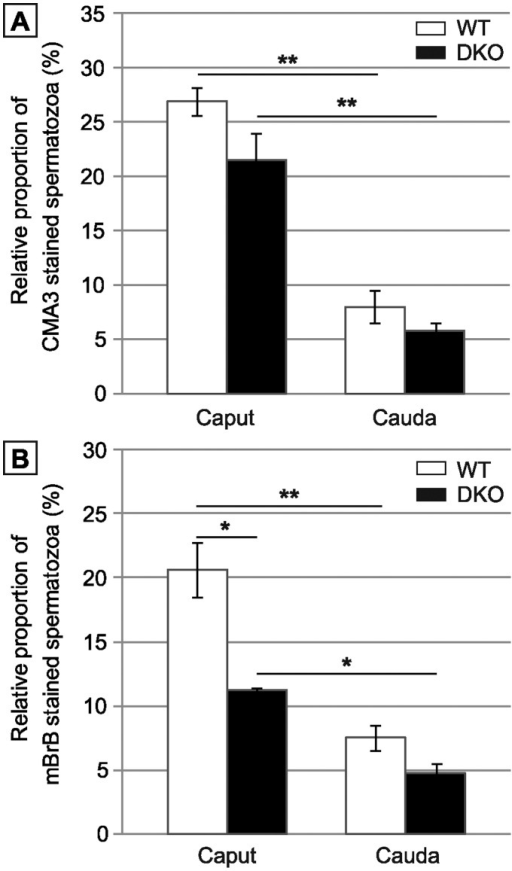 Evaluation of spermatozoa integrity by flow cytometry.A: Protamine association with sperm chromatin determined by chromomycin A3 (CMA3) staining. Histograms show the proportion of CMA3 incorporated in caput and cauda sperm of WT versus DKO animals aged 4 months. B: Disulfide bonds/free thiol quantification by monobromobimane (mBrB) staining. Histograms showing the incorporation of mBrB in caput and cauda sperm of WT versus DKO animals aged 4 months. (Mean +/− SEM; n = 6; *: p≤0.05; **: p≤0.01).