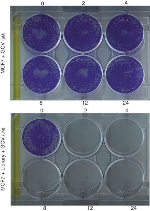 MCF7 cells were transfected with the plasmid library and selected in 500 μg/ml zeocin. Zeocin resistant and normal MCF7 cells were selected in different concentrations of GCV showing GCV sensitivity of the library transfected cells.