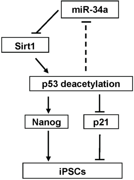 Schematic diagram showing the pathway of miR-34a-SIRT1