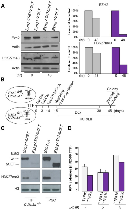 Establishment of iPSC clones upon genome-wide erasure of H3K27me3 at the onset of reprogramming.A. Western blot analysis of EZH2 and H3K27me3 protein levels respectively at onset or 48 hr after reprogramming in Ezh2+/ΔSET and Ezh2ΔSET/ΔSET MEFs. Data are representative of two experiments. Quantification of protein levels at the indicated time points is shown in the right panel (controls in grey, mutants in purple). B. Strategy to induce reprogramming of tail tip fibroblasts (TTFs) lacking H3K27me3 at the onset of reprogramming. C. Western blot analysis of EZH2 and H3K27me3 protein levels in Cdkn2a−/− TTF carrying either one (+/ΔSET) or both (ΔSET/ΔSET) Ezh2 mutant alleles. As comparison, representative Ezh2-proficient (+/+) and -deficient (ΔSET/ΔSET) iPSC clones were analyzed. The band corresponding to H3K27me3 in mutant TTF has the same intensity of that from a mutant iPSC clone for which mass-spectrometry did not detect the presence of H3K27me3. D. Quantification of AP-positive primary iPSC colonies obtained from infection of 2.5×103Cdkn2a−/− TTF, respectively proficient (grey bar) or deficient (purple) for Ezh2, assessed in three independent experiments.