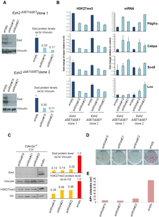Effect of PRC2 inactivation on established Ezh2ΔSET/ΔSET iPSC clones and TF–induced reprogramming.A. Western blot analysis of EED protein levels in two Ezh2ΔSET/ΔSET iPSC clones infected with control virus (empty) or lentiviruses expressing independent short hairpin (sh) RNAs targeting Eed (#19 and #21)(left). Quantification of EED protein levels in infected cells after normalization based on Vinculin levels (right). B. H3K27me3 status (left panel) and expression levels (right panel) measured respectively by ChIP-qPCR and qRT-PCR, of 4 representative genes up regulated in MEF relative to iPSC, in two Ezh2ΔSET/ΔSET iPSC clones. Ezh2-mutant iPSC were infected with viruses expressing two independent hairpins for Eed or with a control virus. Status of H3K27me3 (±SEM) is represented as enrichment relative to input, after normalization for H3 density within the same amplicon. Expression levels are shown as fold change relative to iPSC infected with the empty vector. Error bars refer to qPCR triplicates. C. Western blot analysis of EED and H3K27me3 protein levels at day-6 of puromycin selection on Cdkn2a−/− Ezh2-proficient TTF expressing three independent Eed hairpins (lines 1, 2 and 3) or infected with a control virus (line 4). Quantification of protein levels relative to Vinculin or Histone H3 are shown in the right panel. D. AP staining of primary iPSC colonies obtained upon reprogramming of 1×103 (upper panel) Cdkn2a−/− Ezh2-proficient TTF expressing three independent Eed hairpins (lines 1, 2 and 3) or infected with an empty lentiviral vector (line 4) used as control. E. Quantification of AP+ iPSC colonies. Column height represents number of AP+ iPSC colonies obtained from 1×103 TTF expressing either one of the three independent Eed hairpins (lines 1, 2 and 3) or infected with an empty lentivirus vector (line 4) as control. Data are representative of two independent experiments performed using three different shRNAs.