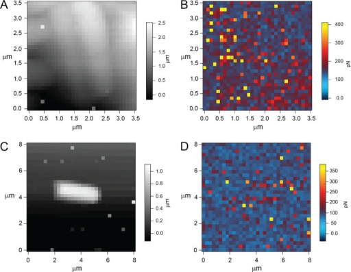 Force-volume images obtained with a PA1-functionalized AFM tip. Shown are L. johnsonii (wild type) topography (A) and adhesion (B) as well as L. johnsonii (ΔepsE mutant) topography (C) and adhesion (D).