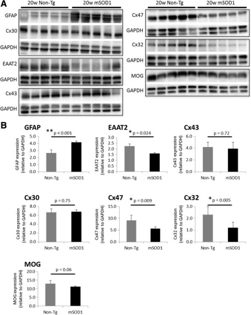 Quantitative immunoblot analysis of Cxs in mSOD1-Tg and non-Tg mice at 20 weeks of age. (A) Representative images of GFAP, EAAT2, Cx43, Cx30, Cx32, Cx47, and MOG immunoblots obtained from mSOD1-Tg mice and non-Tg mice (n = 5 per group) at 20 weeks of age. GAPDH blots for loading controls are shown under each protein blot. (B) Results of quantitative analysis for each astrocyte or oligodendrocyte marker. The expression levels of Cx47, Cx32, and EAAT2 are significantly decreased in mSOD1-Tg mice than in non-Tg mice. By contrast, the expression levels of GFAP are significantly increased in mSOD1-Tg mice as compared with non-Tg mice. Cx43, Cx30, and MOG expressions are not significantly different between mSOD1-Tg and non-Tg mice.