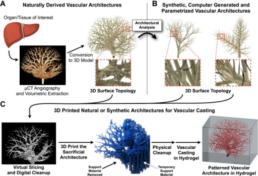 Recapitulating whole organ vasculature.It should be possible to create whole vascularized organoids by merging current anatomical mapping technologies with 3D printing. (A) A tissue or organ of interest is scanned via microcomputed tomography (micro-CT). Source 2D liver scans courtesy of Chris Chen and Sangeeta Bhatia, additional research available via [10]. The resulting voxels (volumetric pixels) can be visualized and converted into a 3D surface topology. (B) Optionally, the 3D surface mesh can be fully parametrized in order to generate, de novo, similar vascular architectures as a new topology. (C) Native or synthetically generated vascular architectures are then computationally sliced and prepared for 3D printing directly (in sacrificial ink) or by boolean volumetric subtraction (in additive ink). After physical cleanup, 3D printing can yield cell-laden hydrogels containing living cells and perfusable vasculature. Shown here for clarity is an architecture with one inlet and zero outlets, but more complete or complex architectures with multiple inlets and outlets could be achieved with this same workflow.