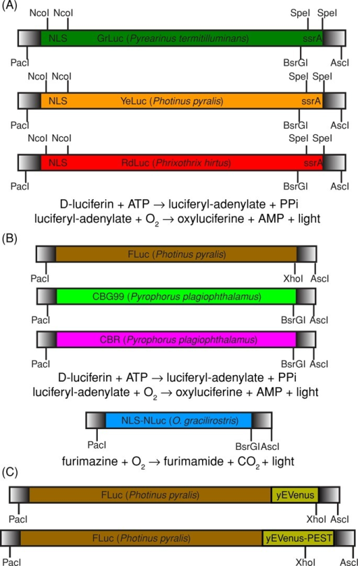 Construction and design of multicolor luciferases. (A) We used gene synthesis (DNA 2.0, Menlo Park, CA) to build beetle luciferases—green from P. termitilluminans (Viviani et al., 1999b), yellow from P. pyralis (Fujii et al., 2007), and red from P. hirtus (Viviani et al., 1999a)—for expression in budding yeast. Beetle luciferase is an enzyme that catalyzes a two-step reaction that requires both ATP and O2 in addition to d-luciferin substrate. An N-terminal SV40 NLS was added between NcoI–NcoI to concentrate luciferase into the nucleus and improve signal-to-background ratio. The C-terminal SKL peroxisomal targeting motif (Leskinen et al., 2003) was removed and replaced by an ssrA degron between SpeI–SpeI for future use in an engineered ClpXP yeast strain (Grilly et al., 2007). The ClpXP strain has LacI-regulated expression of ClpX and ClpP, two subunits of a bacterial proteasome that recognizes a short amino acid sequence, ssrA. Any yeast protein in the engineered ClpXP strain that is fused to an ssrA tag will be conditionally degraded by the addition of isopropyl-β-d-thiogalactoside. (B) For comparison, we tested Promega CBG99 (green) and CBR (red) from P. plagiophthalamus and FLuc (yellow) from P. pyralis. We also tested Promega NLuc (blue), which is a bright marine luciferase that requires only O2 and furimazine (a coelenterazine analogue; Hall et al., 2012). Blue marine luciferases do not require ATP. All of these gene constructs were built to be modular and backward compatible with popular yeast enhanced fluorescent proteins (PacI-AscI; Sheff and Thorn, 2004) and yeast PEST degron (XhoI/BsrGI-AscI) derived from CLN2 gene (Mateus and Avery, 2000). (C) We built FLuc-yEVenus and FLuc-yEVenus-PEST fusion proteins to compare time-lapse luminescence and fluorescence microscopy directly.